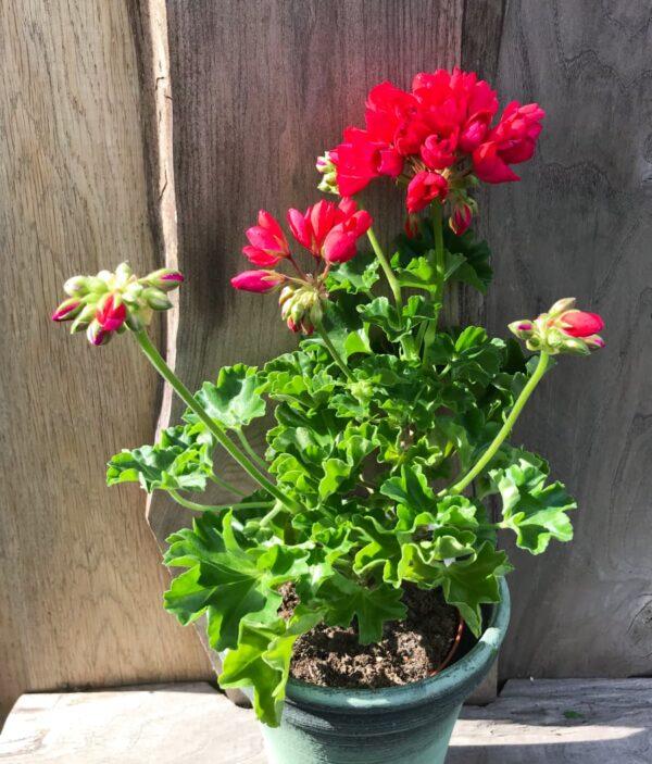 Pelargon Lilian Andrea, blommande planta