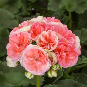 Pelargon Rosebud Astrid, Årets Pelargon 2021, blomstängel med minst 20 öppna blommor och flera knoppar