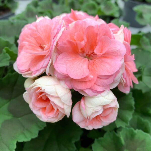 Pelargon Rosebud Astrid, Årets Pelargon 2021, närbild på blomstängel med öppna blommor