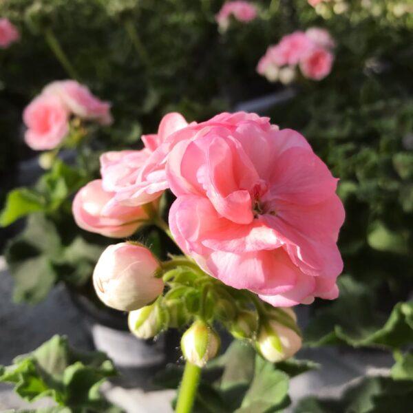 Pelargon Rosebud Astrid, Årets Pelargon 2021, närbild på blomstängel med öppen blomma