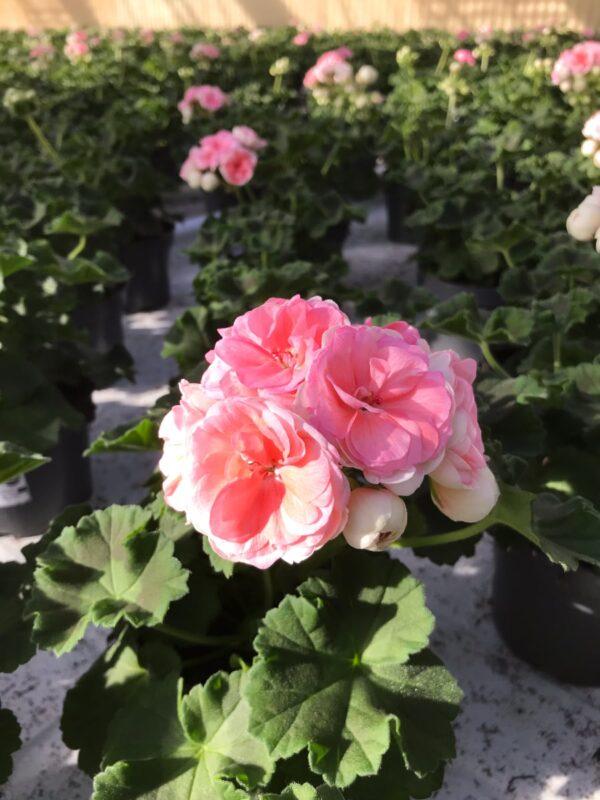 Pelargon Rosebud Astrid, Årets Pelargon 2021, Pelargon Rosebud Astrid, Årets Pelargon 2021, närbild på planta i odlingen på Barkarö Handelsträdgård