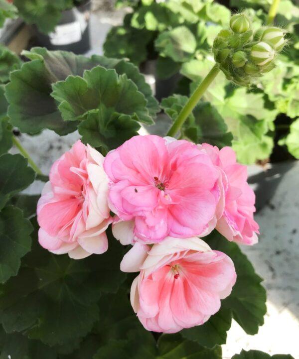 Pelargon Rosebud Astrid, Årets Pelargon 2021, planta med blomstängel med fem öppna blommor i rosa och laxrosa