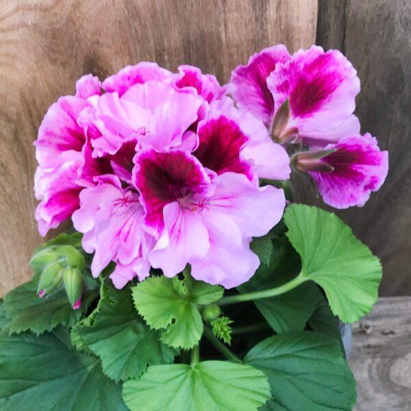Pelargon grandiflorum 'Elegance Alexia', blommande