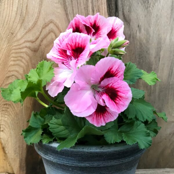 Pelargon grandiflorum 'Elegance David', blommande