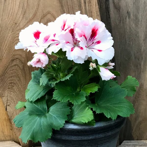 Pelargon grandiflorum 'Francis', blommande