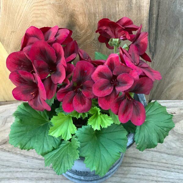 Pelargon grandiflorum 'Regalia Chocolate', blommande