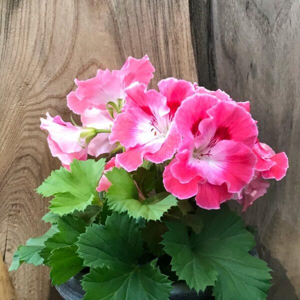 Pelargon grandiflorum 'Sunrise', blommande