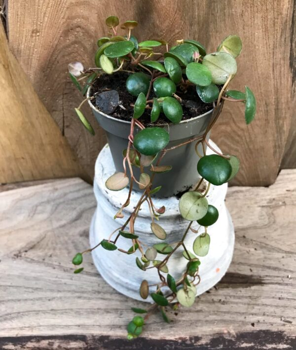 Peperomia Pepperspot, ung planta