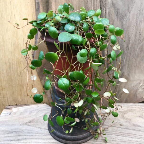 Peperomia Pepperspot, vuxen planta