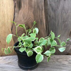 Peperomia scandens, variegata