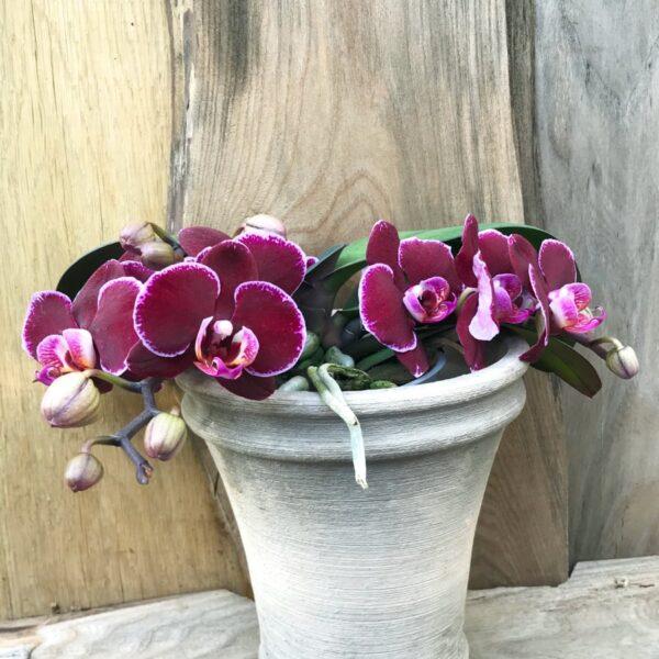 Phalaenopsis Geisha 'Dark' Wine, blommande