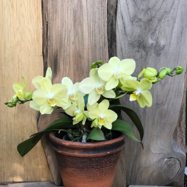 Phalaenopsis Geisha 'Yellow', blommande