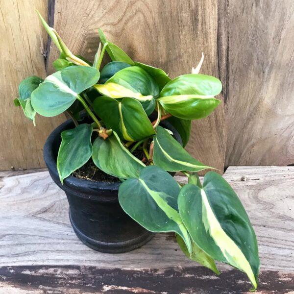 Philodendron hederaceum, Brasil, vuxen planta