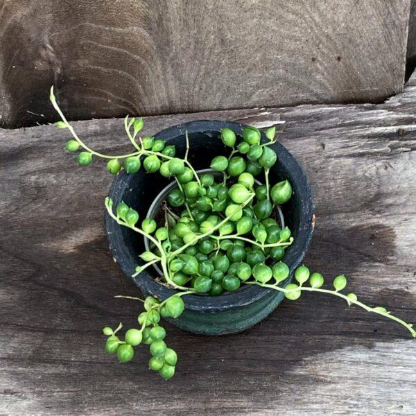 Senecio herreanus, ung planta