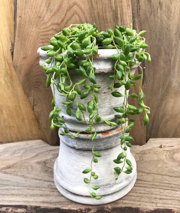 Senecio herrianus, vuxen planta