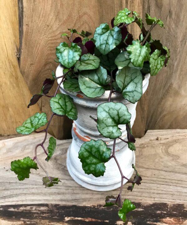 Senecio mikanoides, vuxen planta