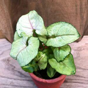 Syngonium podophyllum, Roxanne, ung planta