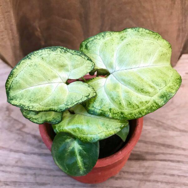 Syngonium podophyllum 'White Butterfly', ung planta