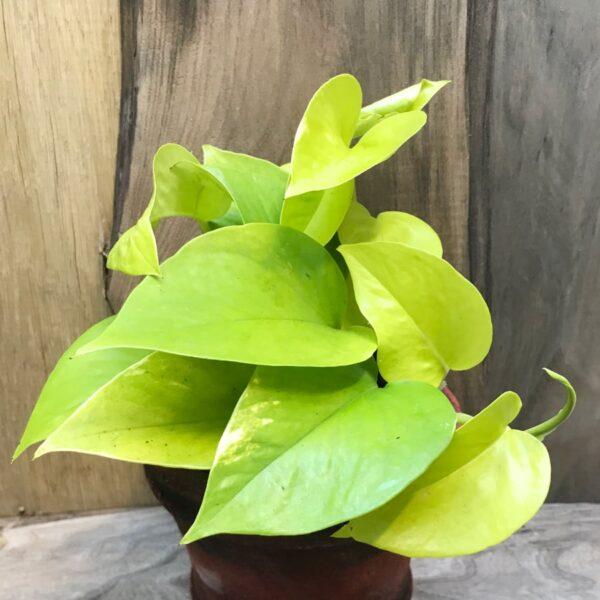 Epipremnum aureum 'Golden Pothos', vuxen planta