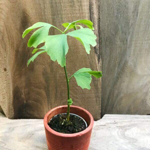 Ginkgo biloba, ung planta