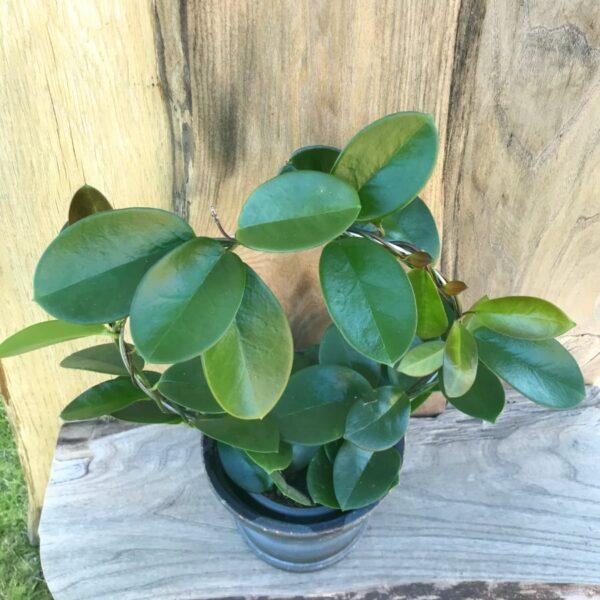 Hoya australis-planta monterad på båge