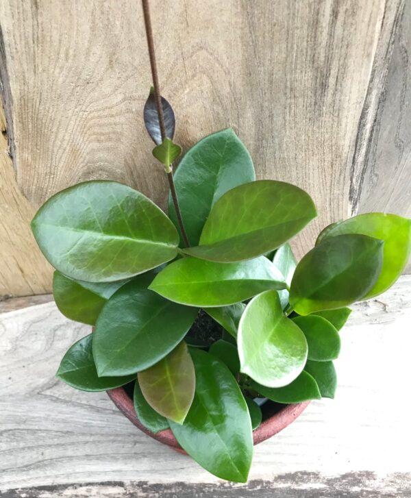 Hoya australis, ung planta