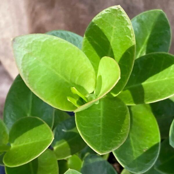 Hoya cumingiana, blad