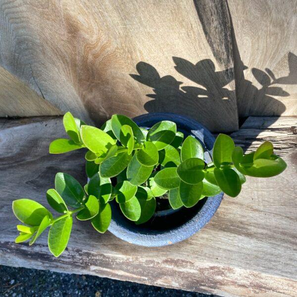 Hoya cumingiana, ung planta