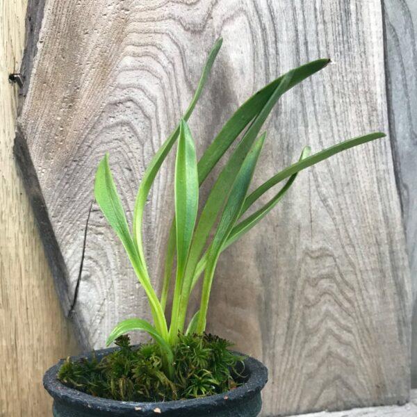 Masdevallia pyxis, planta
