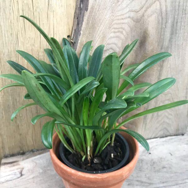 Masdevallia x measuresiana, planta