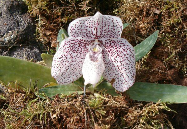 Paphiopedilum godefroyae i blom med vit blomma med röda prickar. Planta omgiven av mossa.