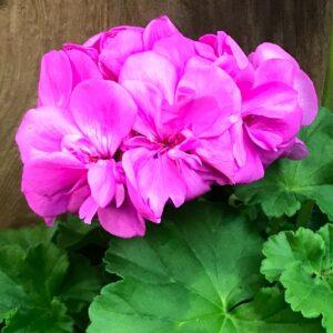 Pelargon Calliope Lavender Blue, blomma