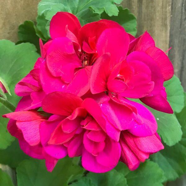 Pelargon Calliope Purple