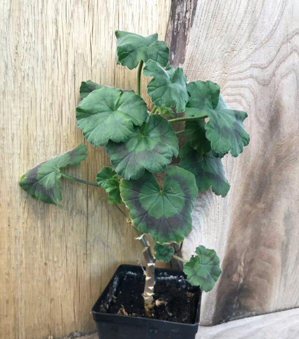 Pelargon Memento, planta