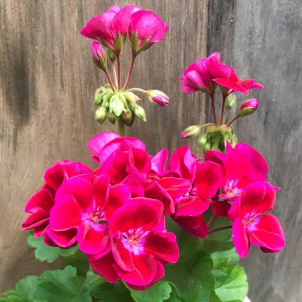 Pelargon Pac Flower Fairy Velvet Swevel