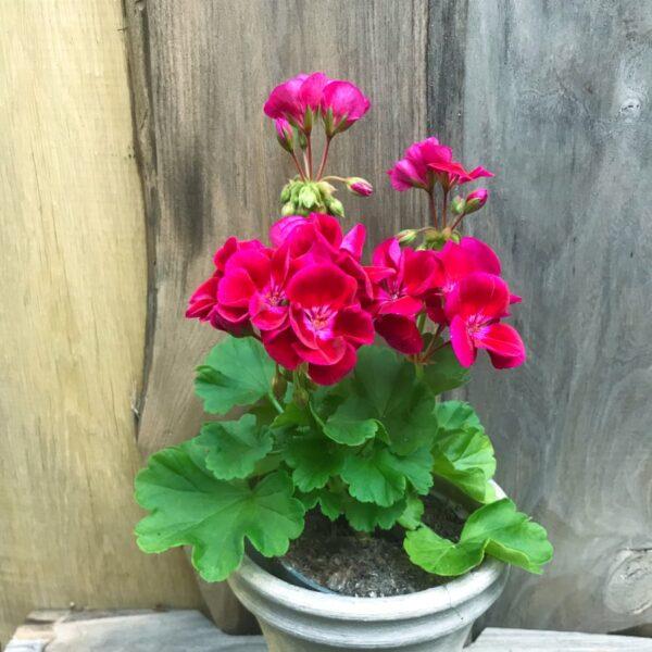 Pelargon Pac Flower Fairy Velvet Swevel, planta med flera blomstänglar