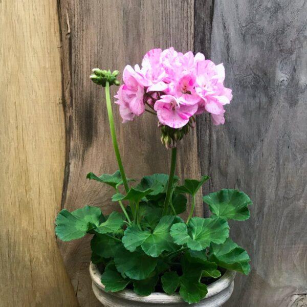 Pelargon Pac Mosaic Pink, planta med blommor