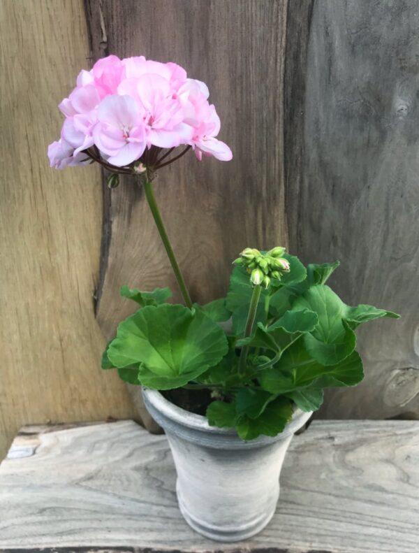 Pelargon Pac Pink Lace, planta med blommor