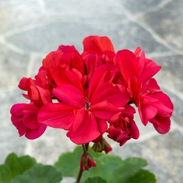 Pelargon Rose Beauty, blommor