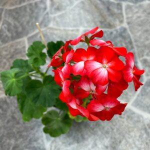 Pelargon Sneezy med blommor i rött