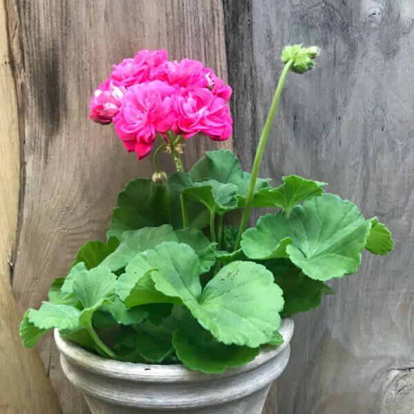 Pelargon Survivor Idols Rosalinda, planta med blommor
