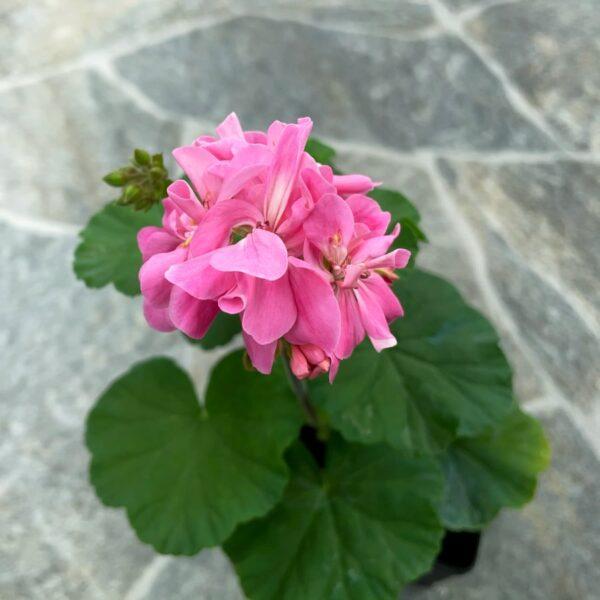 Pelargon Tracy, planta med blommor