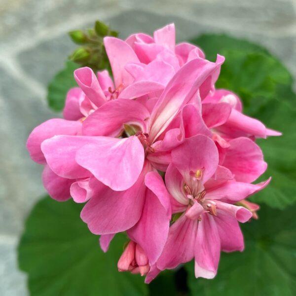 Pelargon Tracy, blommor