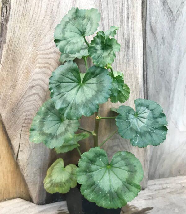 Pelargon Trudie Improved, ung planta