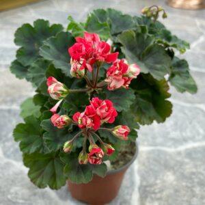 Pelargon Vectis Rosebud