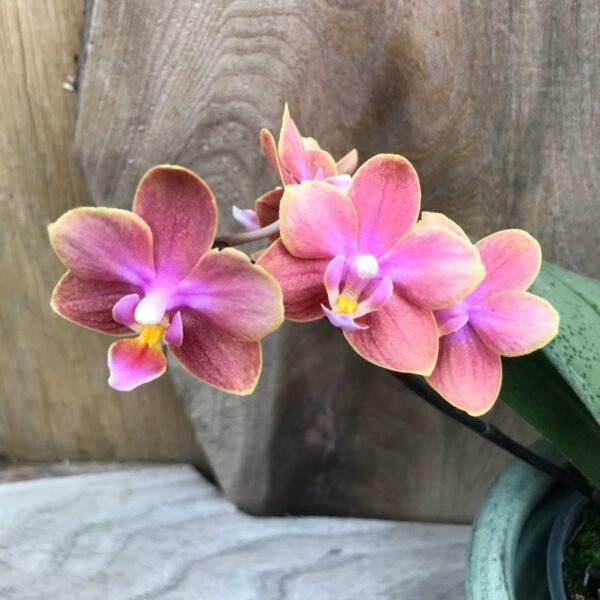 Phalaenopsis Dusty Belle, stängel