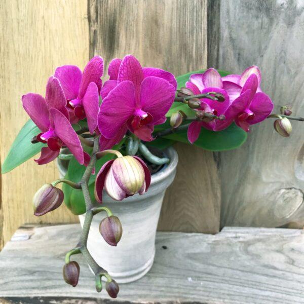 Phalaenopsis Geisha 'Purple'