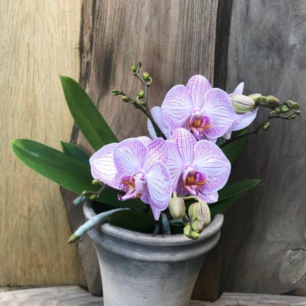 Phalaenopsis Geisha 'Purple Stripe'