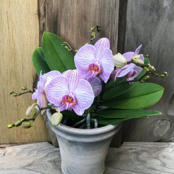 Phalaenopsis Geisha 'Purple Stripe' med blommor och blomstänglar