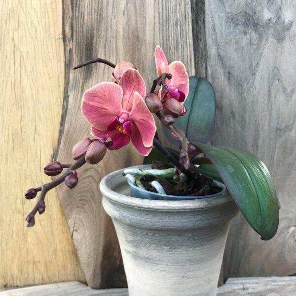 Phalaenopsis Geisha, Salmon